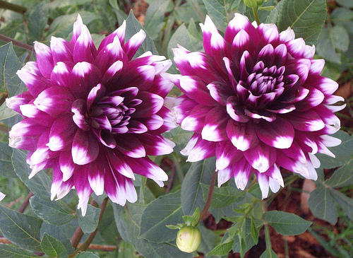 Flower of the month dahlia kaos for Flowers that look like dahlias